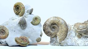 Extinic Ammonite Fossils. Ammonite fossils over 160 milllion years old stock video