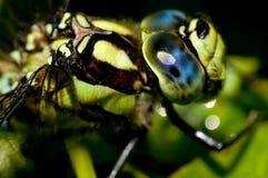 Extrémité étroite d'un Drangonfly Image libre de droits