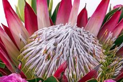 Extrémité étroite des modèles et des textures de fleur de Protea Images stock