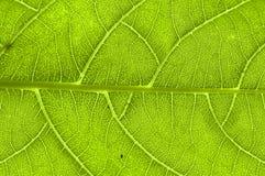 Extrémité étroite des nervures de feuille vertes Images libres de droits