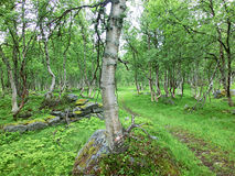 Extraño bosque del abedul - Noruega Imagen de archivo