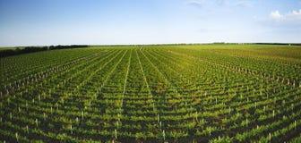 Extra au loin tir panoramique d'un vignoble d'été Images stock