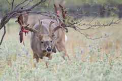 Extra big Boone and Crockett whitetail buck shedding his velvet. Massive whitetail buck with velvet hanging off of his antlers stock photography