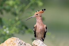 Extra close up and detailed photo of a hoopoe. Sits on a stone on blurred background Stock Photos