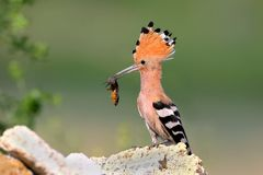 Extra close up and detailed photo of a hoopoe female with an European mole cricket in its beak. Sits on a stone on blurred background Royalty Free Stock Photo