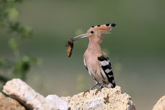 Extra close up and detailed photo of a hoopoe  sits on a stone. Extra close up and detailed photo of a hoopoe female with an European mole cricket in its beak Stock Photo