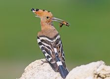 Extra close up and detailed photo of a hoopoe  sits on a stone. Extra close up and detailed photo of a hoopoe female with a Gryllotalpa gryllotalpa, commonly Stock Photography