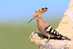 Extra close up and detailed photo of a hoopoe female sits on a stone. On blurred background Stock Images