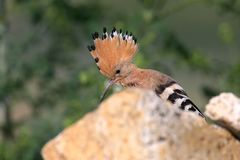 Extra close up and detailed photo of a hoopoe  with open crest. Sits on a stone on blurred background Stock Image