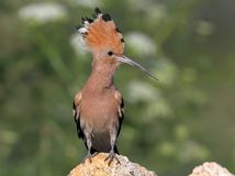 Extra close up and detailed photo of a hoopoe  with open crest. Sits on a stone on blurred background Stock Photos