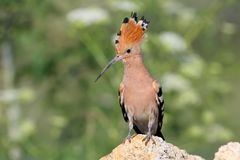 Extra close up and detailed photo of a hoopoe. With open crest sits on a stone on blurred background Stock Photo