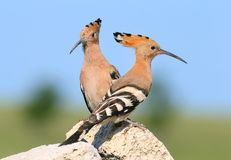 Extra close up and detailed photo of a hoopoe pair sits on a stone. On blurred background Royalty Free Stock Photo