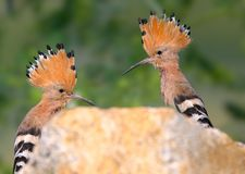 Extra close up and detailed photo of a hoopoe pair sits on a stone. On blurred background Stock Images