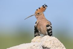 Extra close up and detailed photo of a hoopoe  sits on a stone. On blurred background Royalty Free Stock Image
