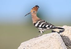 Extra close up and detailed photo of a hoopoe  sits on a stone. On blurred background Stock Image