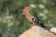 Extra close up and detailed photo of a hoopoe. Very close up and detailed photo of a hoopoe  with open crest sits on a stone on blurred background Royalty Free Stock Photos