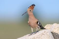 Extra close up and detailed photo of a singing hoopoe. Very close up and detailed photo of a hoopoe  with open crest sits on a stone on blurred background Royalty Free Stock Image