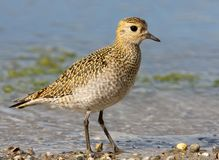 Extra close up and detailed portrait of golden plover. In winter plumage Stock Image