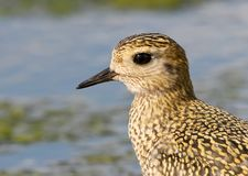 Extra close up and detailed view on head of golden plover. In winter plumage Royalty Free Stock Photography