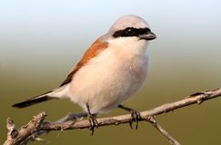 Extra close up portrait of male red backed shrike. On blue-green background Stock Image