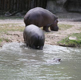 Extra heavy hippos and a hippo swimming in the water. Two extra heavy hippos near the pond and a hippo swimming in stagnant water in the zoo park Royalty Free Stock Photo