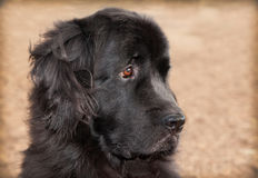 Extra large black newfoundland dog headshot on dried grass Royalty Free Stock Images