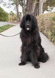 Extra large black newfoundland dog sits on sidewalk on leash Royalty Free Stock Photo