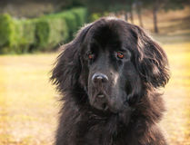 Extra large black newfoundland dog standing looking forward. Royalty Free Stock Photography