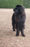 Extra large black newfoundland dog standing looking right by bus Royalty Free Stock Photo