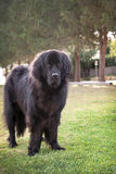Extra large black newfoundland dog standing outdoors on grass Stock Photos