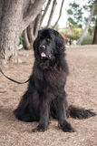 Extra large black newfoundland slobbering dog standing looking to her right Stock Image