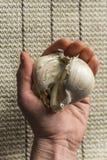 Extra Large Elephant Garlic Royalty Free Stock Image