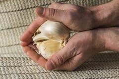 Extra Large Elephant Garlic Stock Image