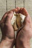 Extra Large Elephant Garlic stock photos
