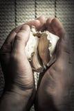 Extra Large Elephant Garlic Stock Photography
