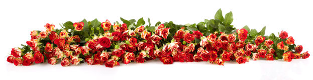 Extra large horizontal strip of rose Royalty Free Stock Photos