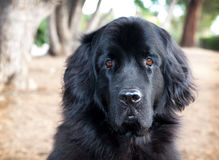 Extra large Newfoundland breed dog outdoors by trees in park Stock Photos