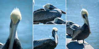 Extra large pelican montage Royalty Free Stock Photos