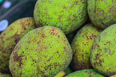 Extra large size of organic breadfruit (Artocarpus altilis) frui. T for sale at the fruit market. Breadfruit is a species of flowering tree in the mulberry and Stock Image