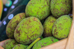 Extra large size of organic breadfruit (Artocarpus altilis) frui. T for sale at the fruit market. Breadfruit is a species of flowering tree in the mulberry and Stock Images