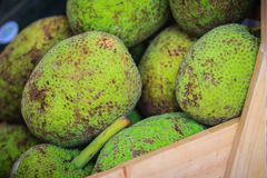 Extra large size of organic breadfruit (Artocarpus altilis) frui. T for sale at the fruit market. Breadfruit is a species of flowering tree in the mulberry and Stock Photo