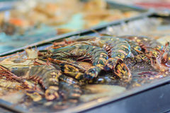 Extra large size of Penaeus monodon, commonly known as the giant. Tiger prawn or Asian tiger shrimp is a marine crustacean that is widely reared for food. Tiger royalty free stock images