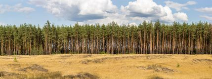 Extra large wide panoramic view of pine forest and cloudy sky on the background.  Royalty Free Stock Photo