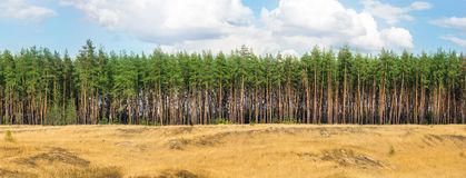 Extra large wide panoramic view of pine forest and cloudy sky. W royalty free stock photography
