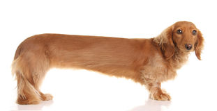 Extra long dachshund Royalty Free Stock Image