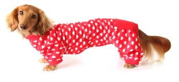 Extra long Valentine dog Royalty Free Stock Photography