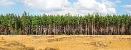 Extra stor bred panoramautsikt av pinjeskogen och molnig himmel W royaltyfri fotografi