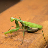 Extra-terrestrial mantide. Green mantide look like extra-terrestrial on the wooden table stock image