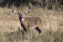 Extra wide and heavy rack whitetail buck Stock Photo