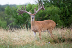 Extra wide whitetail buck standing at alert Royalty Free Stock Image